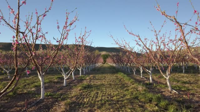 beautiful dawn springtime peach orchard in colorado with pink blossoms on the trees - new stock videos & royalty-free footage