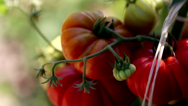 Beautiful & delicious homegrown tomatoes!