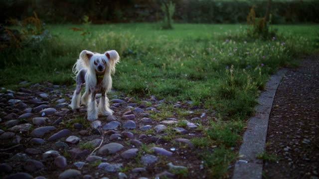 vídeos de stock, filmes e b-roll de lindo cão ladrar ao entardecer - latindo