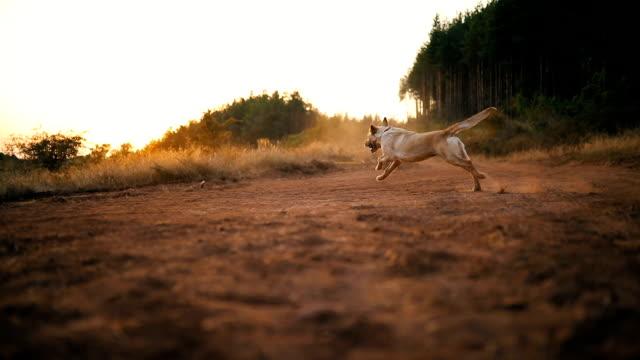 骨を探している美しい犬 - 突き出た鼻点の映像素材/bロール