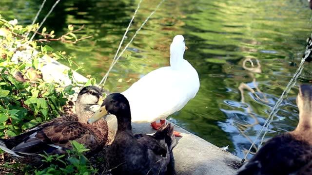 vidéos et rushes de de canards dans le bassin du jardin - canard oiseau aquatique