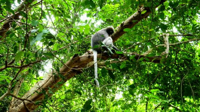 vídeos y material grabado en eventos de stock de hermosa hoja oscura mono sentado en el árbol tropical siendo - tanga