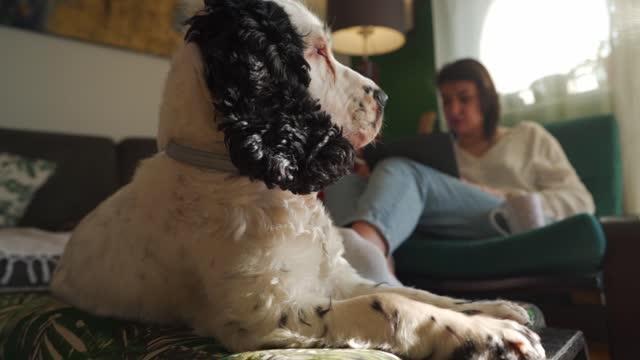 vídeos de stock e filmes b-roll de beautiful english cocker spaniel enjoying in the living room with his owner - focagem no primeiro plano