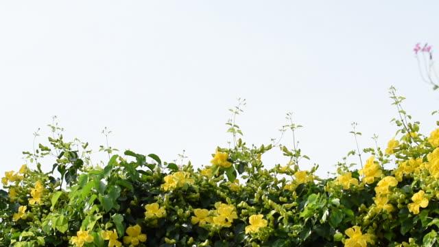schöne exotische tropische gelbe blumen mit grünen blättern katze kralle creeper pflanzen und lila orchidee baum oder schmetterling baum oder lila bauhinia über blauen himmel hintergrund - tierkörper stock-videos und b-roll-filmmaterial