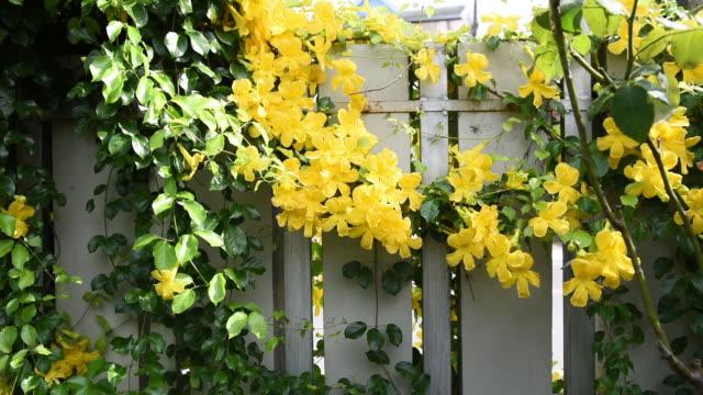 vídeos de stock, filmes e b-roll de lindas flores amarelas tropicais exóticas com fundo de parede de folhas verdes, garra de gato, catclaw vine, plantas de cat's claw creeper - trepadeira