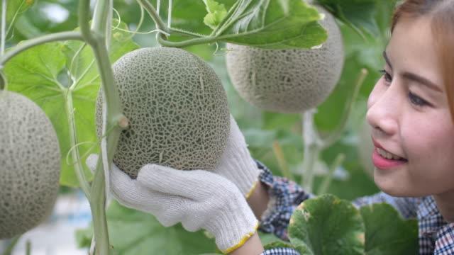 vídeos de stock e filmes b-roll de beautiful farmer girl taking care a melon in smart farm, organic hydroponic melon farm - melão de casca de carvalho