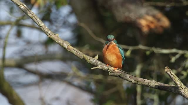 a beautiful female kingfisher, alcedo atthis, perching on a twig that is growing over a river preening. - twig stock videos & royalty-free footage