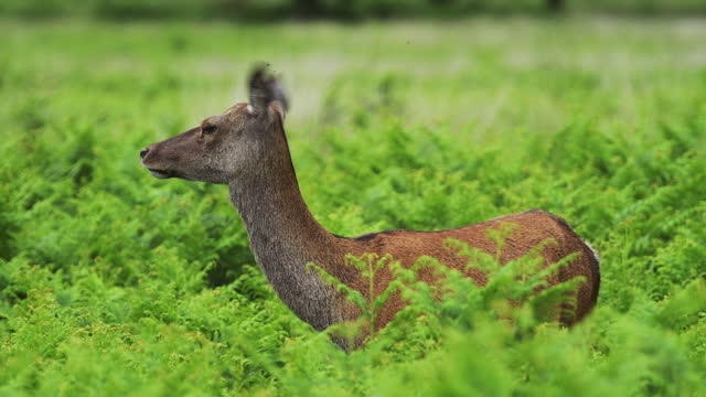 vidéos et rushes de beautiful female red deer standing between green plants turning head around - tête composition