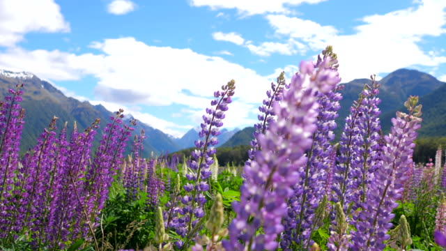 beautiful field of flowers with lupins - bocciolo video stock e b–roll