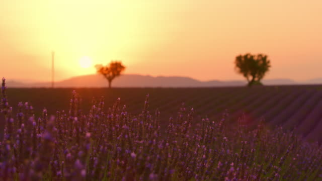 ds beautiful field of lavender at dusk - provence alpes cote d'azur stock videos & royalty-free footage