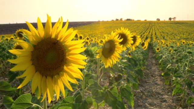 ds schönes feld von sonnenblumen - region provence alpes côte d'azur stock-videos und b-roll-filmmaterial