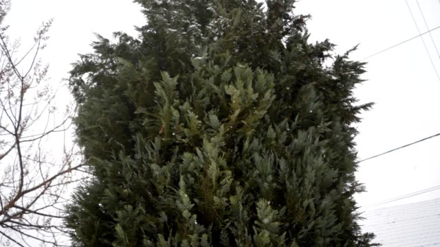 beautiful fir tree on a snowy day - spruce stock videos & royalty-free footage