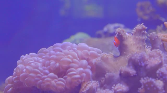 beautiful fish in underwater world with corals and sea flower in tank at the institute of marine science of burapha university. - clown fish stock videos & royalty-free footage