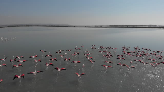 Beautiful flamingoes birds standing in salt water. Santa Pola salt lakes in Alicante province. Costa Blanca. Spain