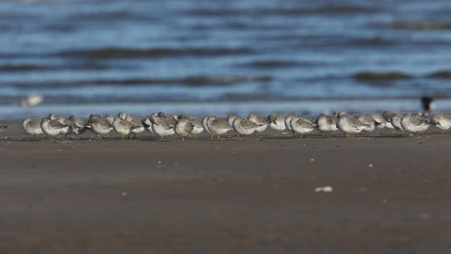a beautiful flock of knot, calidris canutus, resting and preening on the shoreline of a beach in norfolk. - sandpiper stock videos & royalty-free footage