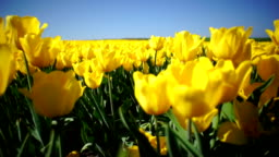 Beautiful flower bed of yellow tulips