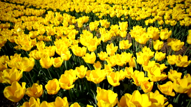 beautiful flower bed of yellow tulips - plant bulb stock videos & royalty-free footage