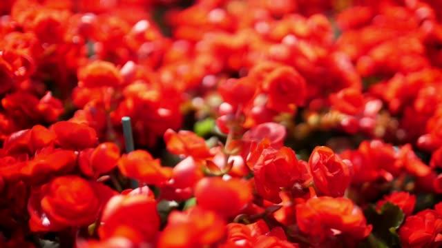vidéos et rushes de belle fleur en thaïlande - parterre de fleurs