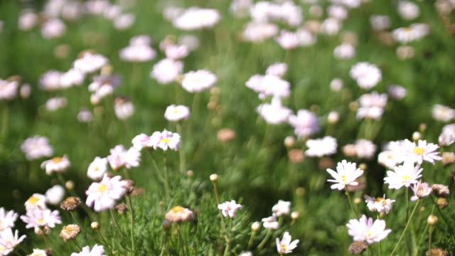 タイの美しい花 - 顕花植物点の映像素材/bロール