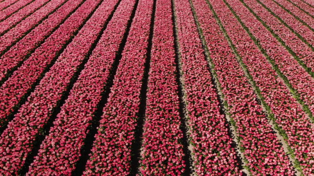 オランダの美しい花壇 - オランダ文化点の映像素材/bロール