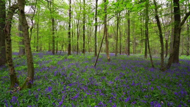 Beautiful flowering making the forest blue at spring, Belgium
