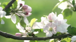 Beautiful flowers of fruit tree blooming at spring. Amazing magic of nature regeneration at spring