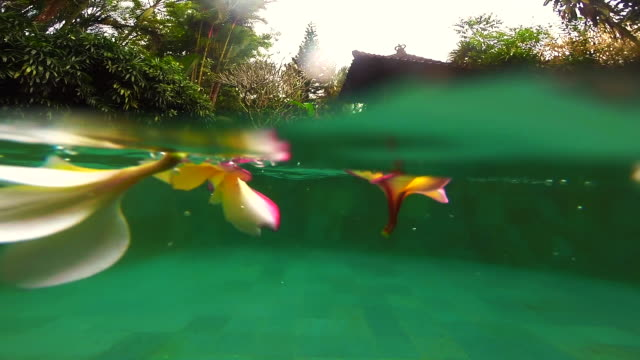 beautiful frangipani flowers typical of bali in the swimming pool with underwater view during travel vacations in the island of bali. - piscina pubblica all'aperto video stock e b–roll