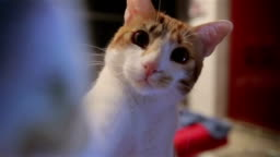 Beautiful funny cat touching the lens of camera,too cute