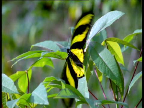 Beautiful giant birdwing butterfly perches on cassava plant, Irian Jaya