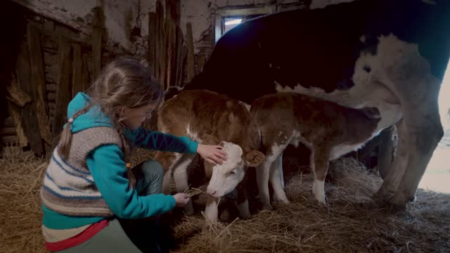 beautiful girl patting calf in a bed of hay in a stable on a farm - small stock videos & royalty-free footage