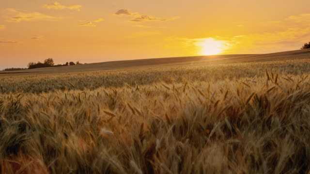 slo mo beautiful gold colored wheat field in the middle of countryside at sunset - tilt up stock videos & royalty-free footage