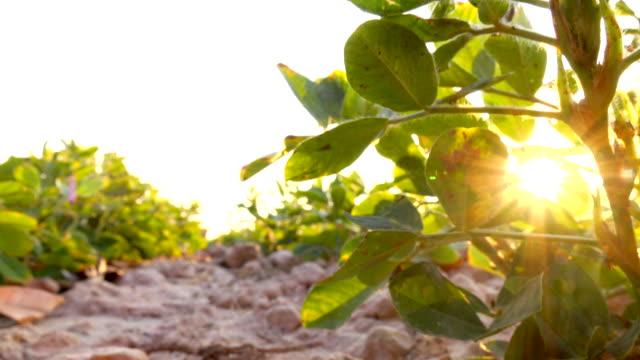ピント ピーナッツの美しい緑のフィールド - 食品 ピーナッツ点の映像素材/bロール