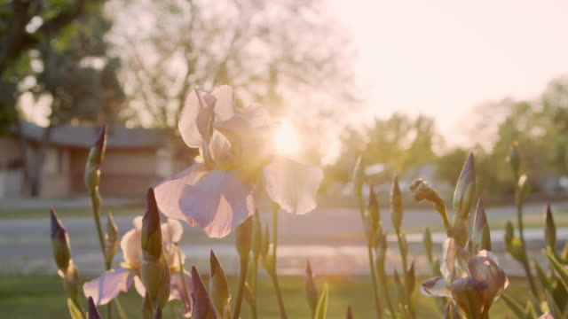 beautiful handheld slow motion close-up shot of purple iris flowers in a home front yard garden at sunset - iris plant stock videos & royalty-free footage