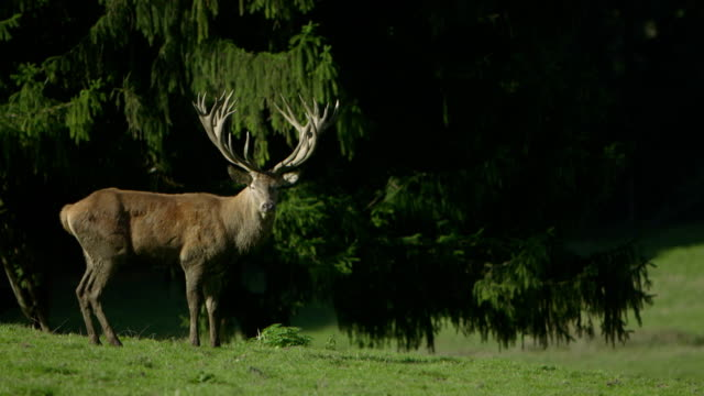 beautiful hart  standing in front of a big tree - stuffed stock videos & royalty-free footage