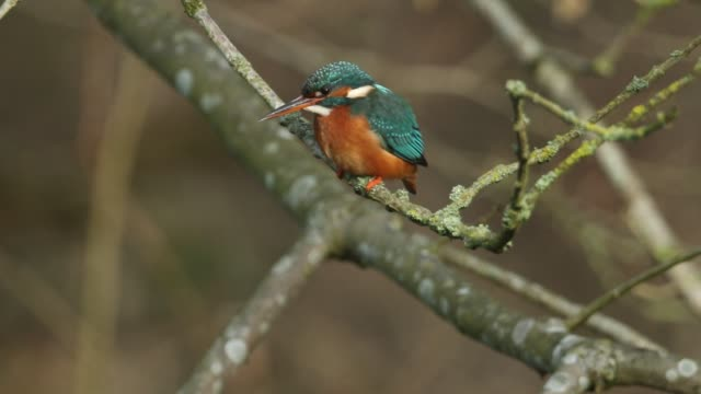 a beautiful hunting kingfisher, alcedo atthis, perching on a twig that is growing over a river. it is diving into the water catching fish to eat. - twig stock videos & royalty-free footage