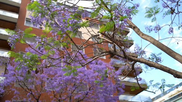 beautiful jacaranda tree in buenos aires - puerto madero stock videos & royalty-free footage