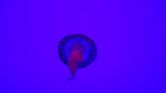 beautiful jellyfish swimming - aquatic organism stock videos & royalty-free footage