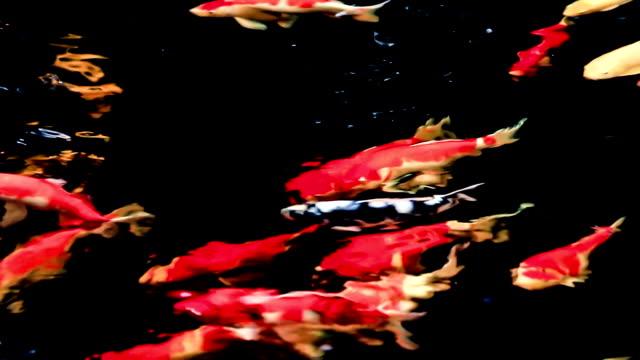 beautiful koi fish in pond - koi carp stock videos & royalty-free footage