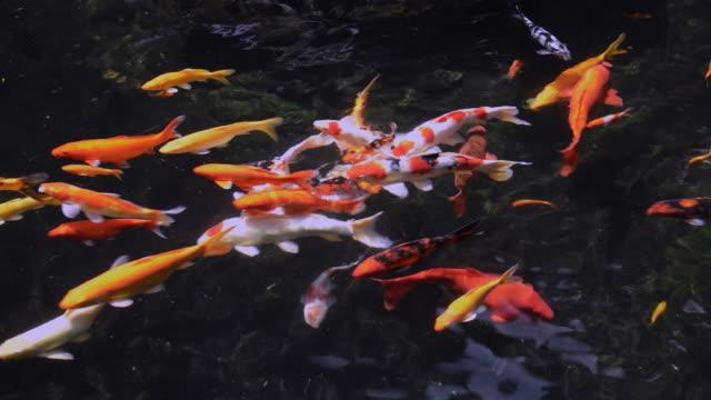 beautiful koi fish in pond water - aquatic organism stock videos & royalty-free footage