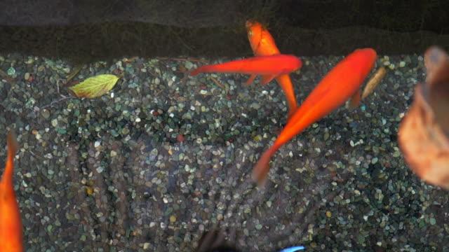 Beautiful koi fish in zen pond