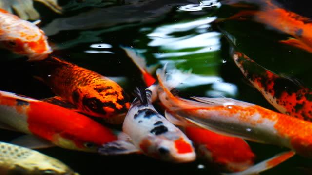 Beautiful koi fish, Slow motion