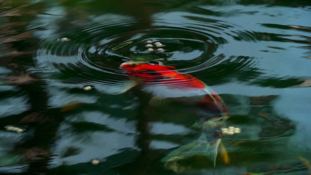 Beautiful koi fish swimming in the pond.