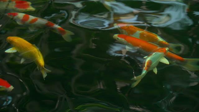 Beautiful koi fish swimming in the pond.