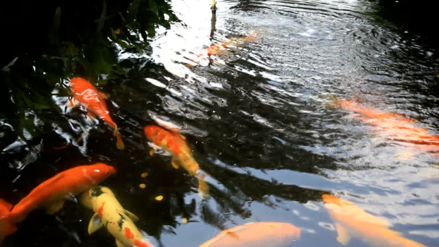 beautiful koi fishes in the pond - showa period stock videos & royalty-free footage