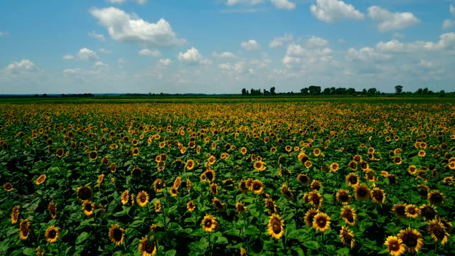 beautiful landscapes and organic agriculture with sunflowers - eternity stock videos & royalty-free footage
