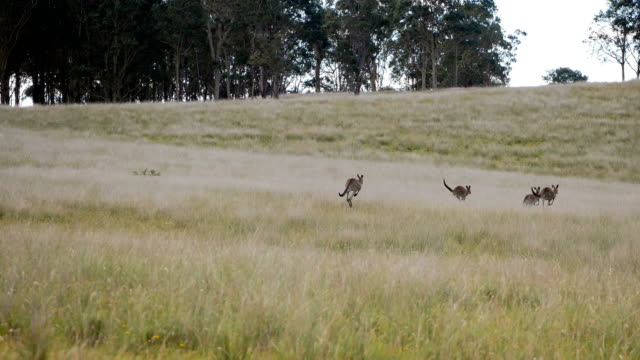 Beautiful landscapes in Australia - kangaroos running into the forest