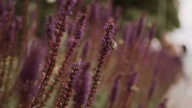 beautiful lavender branches slowly swaying. fields of lavender dancing in the wind - switzerland stock videos & royalty-free footage