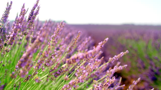 ms beautiful lavender plants - lavender stock videos & royalty-free footage