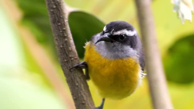 beautiful little gray and yellow bird (bananaquit) costa rica - heliconia stock videos & royalty-free footage