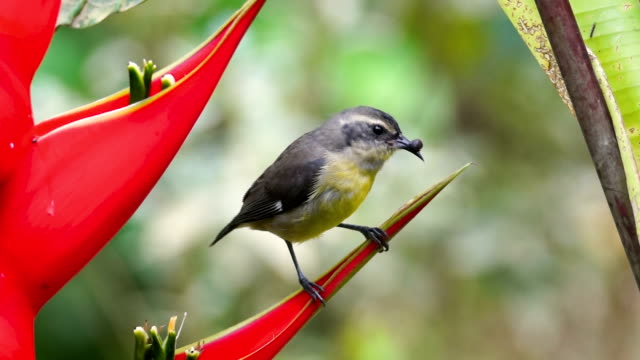 beautiful little gray and yellow bird on heliconia flower, costa rica - heliconia stock videos & royalty-free footage